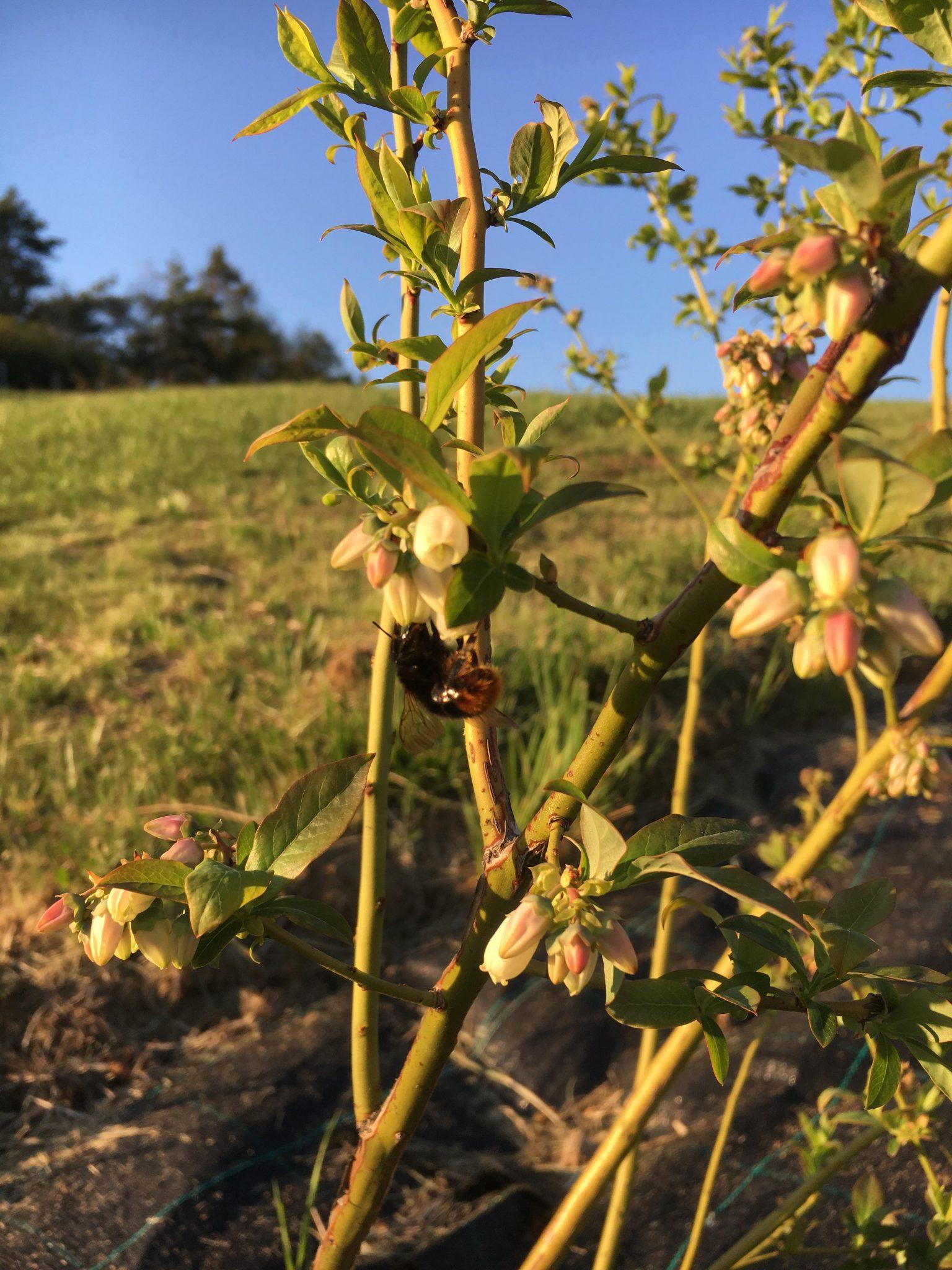 Kvitnú čučoriedky
